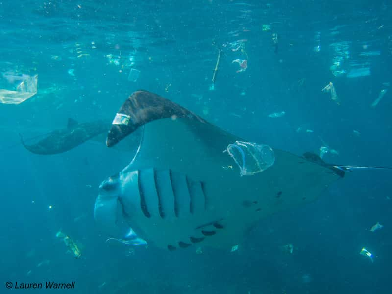 Manta ray swimming with ocean pollution.