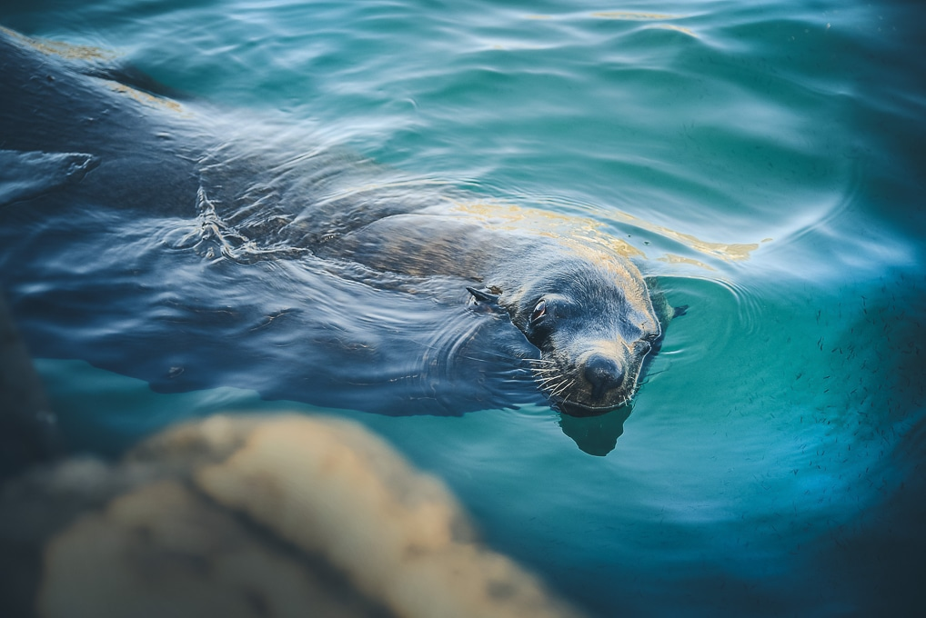 Seal swimming in South Africa.